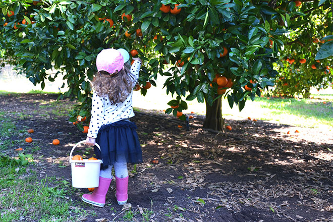 family activity - fruit picking mandarins