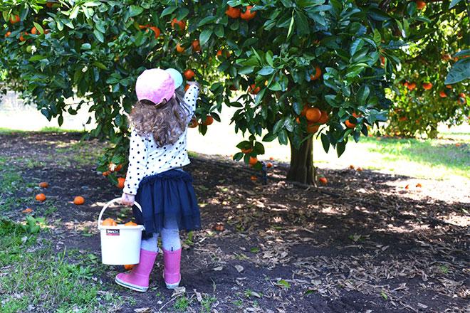 family activity - fruit picking mandarins