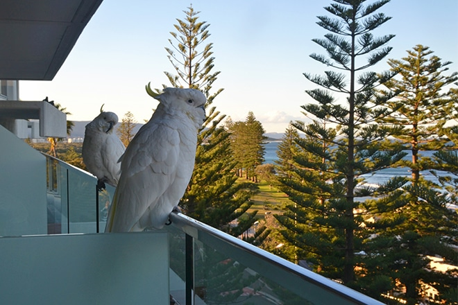 Cockatoos on balcony Novotel Wollongong Northbeach